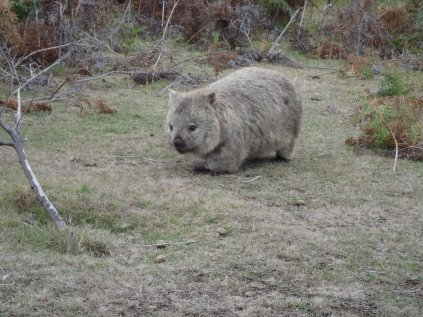 Wombats are a miracle