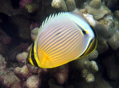 Oval Butterflyfish (Chaetodon
