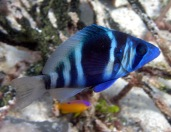 My favorite reef fish (Indigo Hamlet) makes and appearance