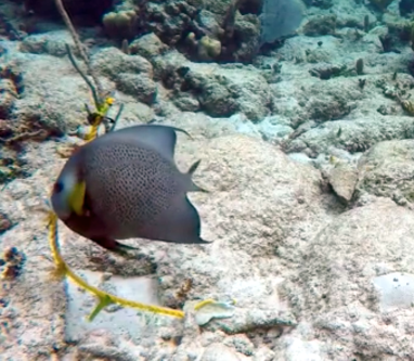 A Gray Angelfish takes the bait!
